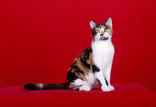 CAT 02 CH0071 01 © Kimball Stock Calico American Wirehair Sitting In Red Studio