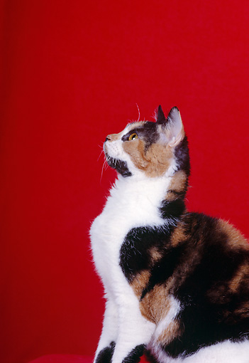CAT 02 CH0072 01 © Kimball Stock Calico American Wirehair Sitting In Red Studio