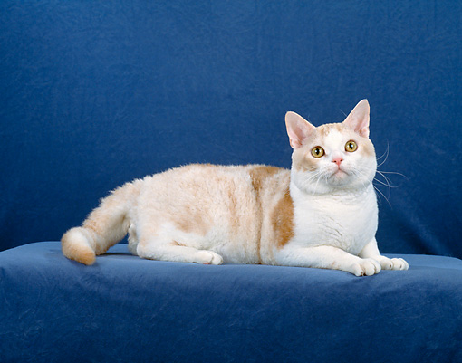 CAT 02 CH0073 01 © Kimball Stock American Wirehair Cameo Tabby Laying In Blue Studio