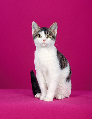 CAT 02 CH0077 01 © Kimball Stock American Wirehair Sitting In Pink Studio