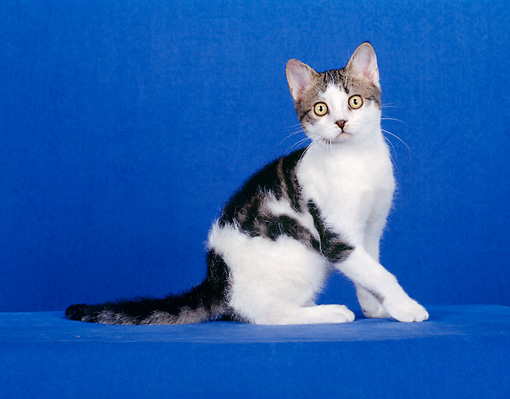 CAT 02 CH0078 01 © Kimball Stock American Wirehair Sitting In Blue Studio