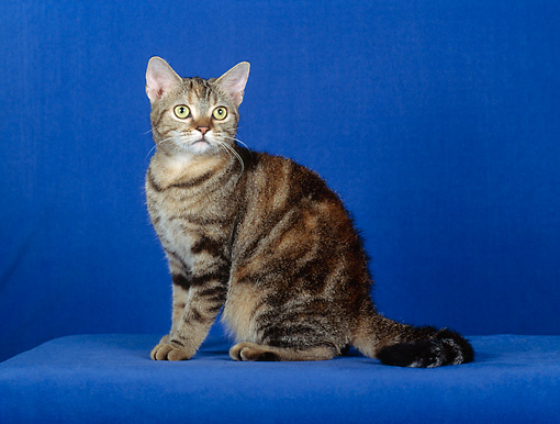 CAT 02 CH0079 01 © Kimball Stock American Wirehair Tabby Sitting In Blue Studio