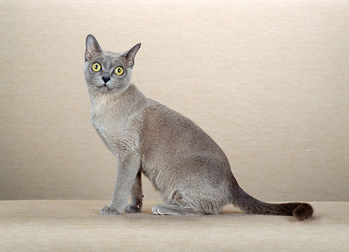 CAT 02 CH0080 01 © Kimball Stock Blue Burmese Sitting In Pink Studio