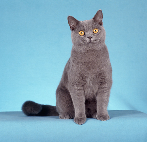 CAT 02 CH0085 01 © Kimball Stock British Shorthair Sitting In Blue Studio