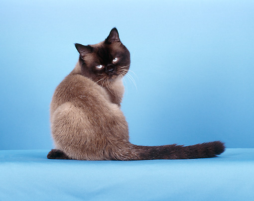 CAT 02 CH0091 01 © Kimball Stock British Shorthair Seal Point Sitting In Blue Studio
