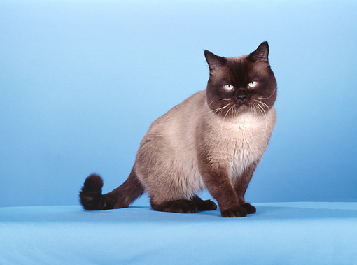 CAT 02 CH0092 01 © Kimball Stock British Shorthair Seal Point Sitting In Blue Studio