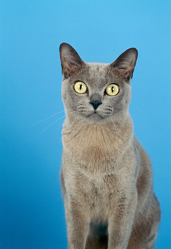 CAT 02 CH0094 01 © Kimball Stock Burmese Cat Sitting In Blue Studio
