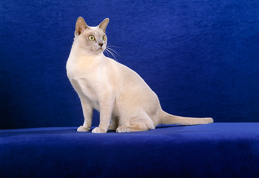 CAT 02 CH0095 01 © Kimball Stock Burmese Cat Sitting In Blue Studio