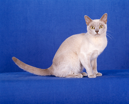 CAT 02 CH0096 01 © Kimball Stock Burmese Cat Sitting In Blue Studio