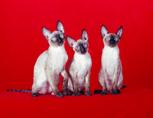 CAT 02 CH0099 01 © Kimball Stock Three Cornish Rex Seal Point Cats Sitting In Red Studio