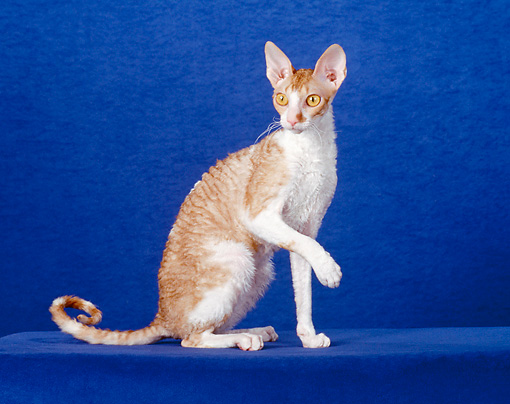 CAT 02 CH0101 01 © Kimball Stock Cornish Rex Sitting In Blue Studio