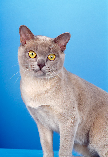 CAT 02 CH0103 01 © Kimball Stock Close-Up Of Platinum Burmese Cat Sitting In Light Blue Studio