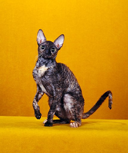 CAT 02 CH0104 01 © Kimball Stock Cornish Rex Tortie Sitting In Orange Studio