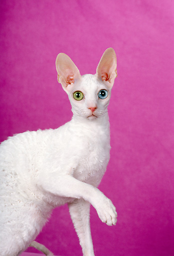 CAT 02 CH0105 01 © Kimball Stock White Cornish Rex With Heterochromia Sitting In Pink Studio