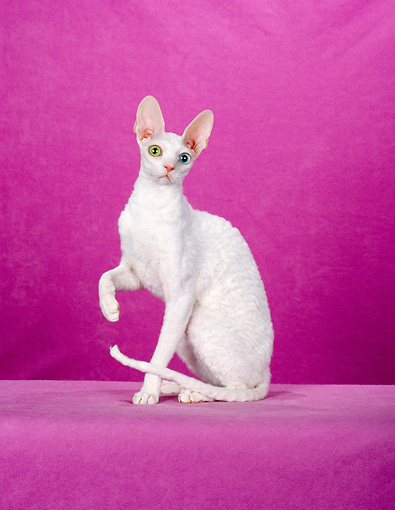 CAT 02 CH0106 01 © Kimball Stock White Cornish Rex With Heterochromia Sitting In Pink Studio