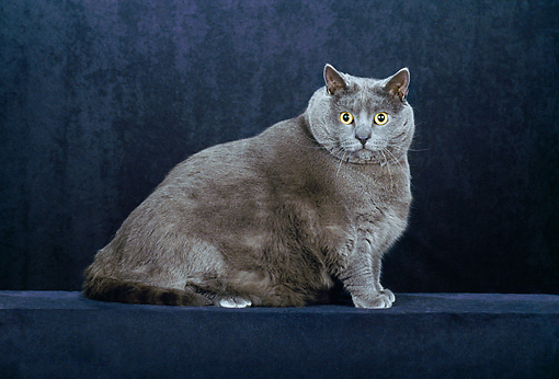 CAT 02 CH0107 01 © Kimball Stock Chartreux Blue Sitting In Black Studio