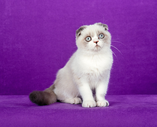 CAT 02 CH0108 01 © Kimball Stock Foldex Shorthair Blue Point And White Cat Sitting In Purple Studio