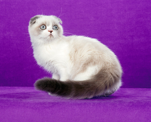 CAT 02 CH0109 01 © Kimball Stock Foldex Shorthair Blue Point And White Cat Sitting In Purple Studio