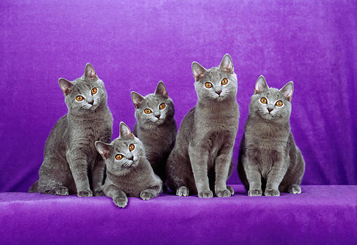 CAT 02 CH0110 01 © Kimball Stock Five Chartreux Blue Cats Sitting In Purple Studio