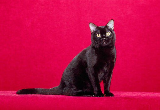 CAT 02 CH0113 01 © Kimball Stock Bombay Black Cat Sitting In Red Studio