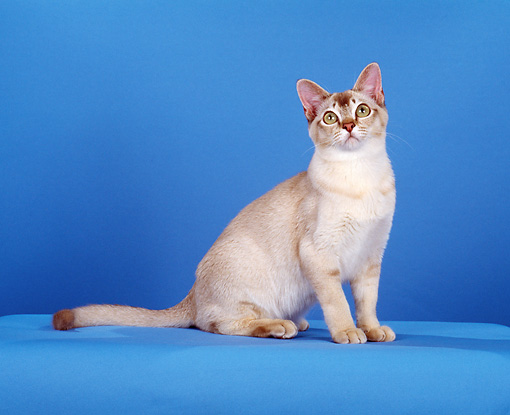 CAT 02 CH0116 01 © Kimball Stock Chocolate Shaded Silver Burmilla Cat Sitting In Blue Studio