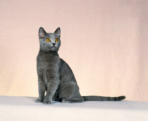 CAT 02 CH0117 01 © Kimball Stock Chartreux Blue Sitting In Beige Studio