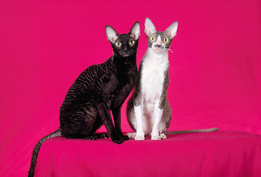 CAT 02 CH0119 01 © Kimball Stock Cornish Rex Black And Cornish Rex Blue And White Sitting In Red Studio