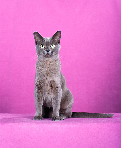 CAT 02 CH0120 01 © Kimball Stock Burmese Dilute Blue Sitting In Pink Studio