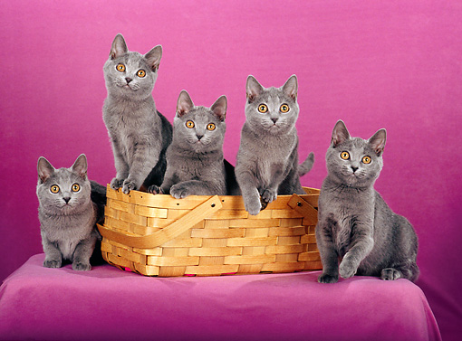 CAT 02 CH0122 01 © Kimball Stock Chartreux Blue Cats Sitting In Basket In Purple Studio