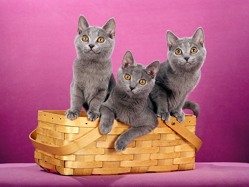 CAT 02 CH0123 01 © Kimball Stock Chartreux Blue Cats Sitting In Basket In Purple Studio