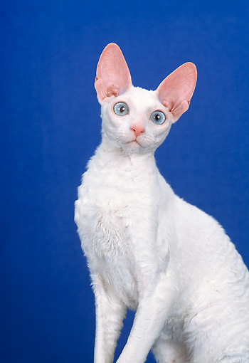 CAT 02 CH0125 01 © Kimball Stock Cornish Rex White Sitting In Blue Studio