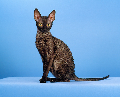CAT 02 CH0126 01 © Kimball Stock Cornish Rex Black Smoke Sitting In Blue Studio