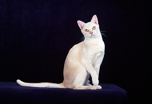 CAT 02 CH0128 01 © Kimball Stock European Burmese Cream Sitting In Studio