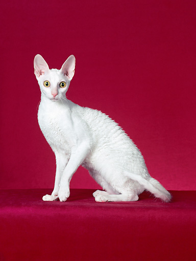 CAT 02 CH0130 01 © Kimball Stock Cornish Rex White Sitting In Red Studio