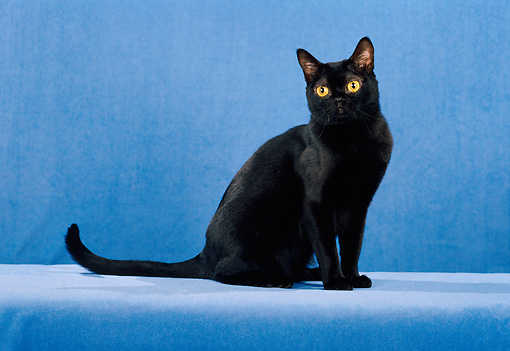 CAT 02 CH0131 01 © Kimball Stock Bombay Black Cat Sitting In Blue Studio