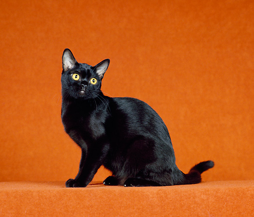 CAT 02 CH0133 01 © Kimball Stock Bombay Black Cat Sitting In Orange Studio