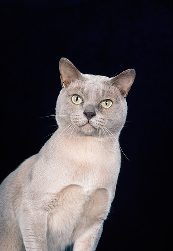 CAT 02 CH0135 01 © Kimball Stock Close-Up Of Burmese Dilute Platinum Sitting In Studio