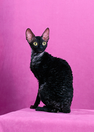 CAT 02 CH0136 01 © Kimball Stock Cornish Rex Black Smoke Sitting In Pink Studio
