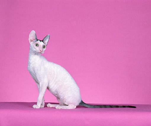 CAT 02 CH0138 01 © Kimball Stock Cornish Rex Blue And White Van Sitting In Pink Studio