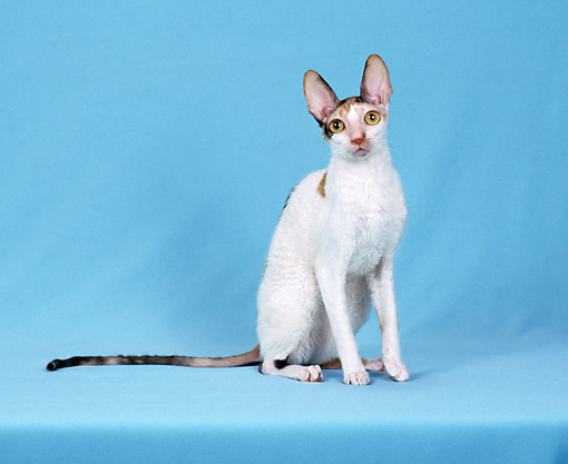 CAT 02 CH0139 01 © Kimball Stock Cornish Rex Calico Sitting In Light Blue Studio