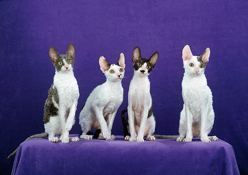 CAT 02 CH0142 01 © Kimball Stock Group Of Cornish Rex Cats Sitting In Violet Studio