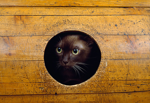 CAT 02 GL0005 01 © Kimball Stock Burmese Cat Peeking Out Of Hole In Wood