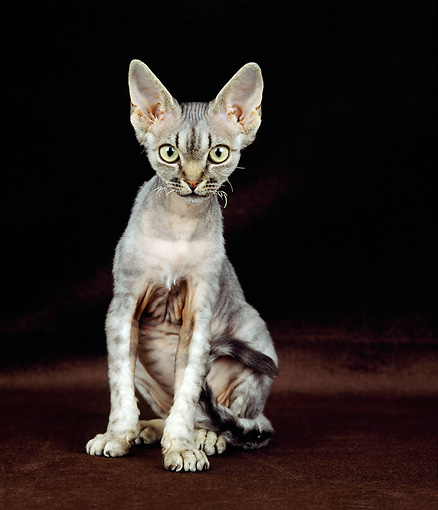 CAT 02 GL0008 01 © Kimball Stock Devon Rex Sitting In Studio