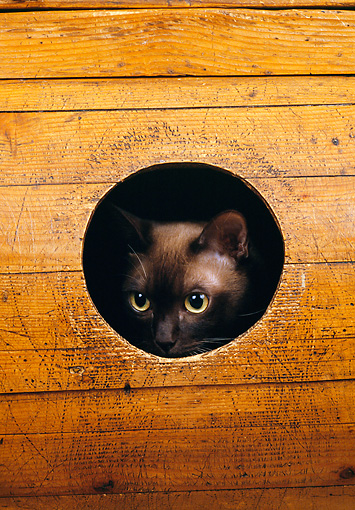 CAT 02 GL0011 01 © Kimball Stock Cat Peeking Out Of Hole In Wood