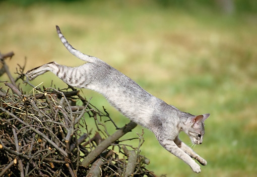 CAT 02 GL0014 01 © Kimball Stock Cat Jumping Over Pile Of Sticks
