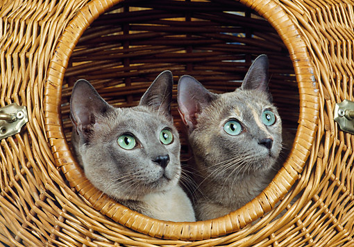 CAT 02 GL0016 01 © Kimball Stock Two Tonkinese Cats Sitting In Wicker Basket