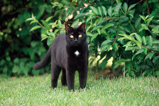 CAT 02 GR0014 01 © Kimball Stock Black Cat Standing On Grass By Bushes