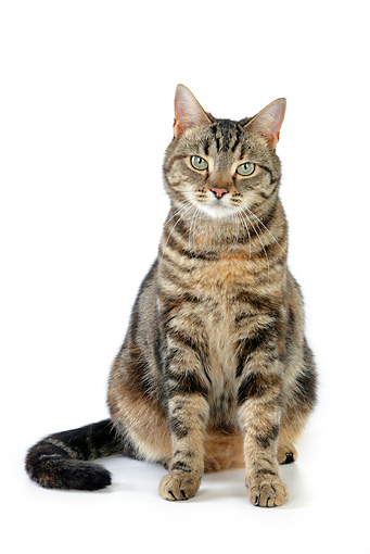CAT 02 JD0009 01 © Kimball Stock Torbie Cat Sitting On White Seamless