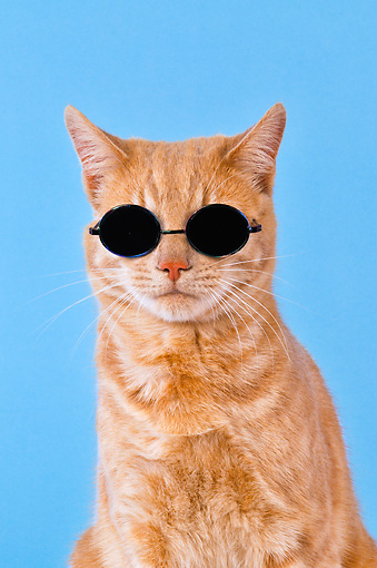 CAT 02 JD0020 01 © Kimball Stock Head Shot Of Orange Tabby Cat Wearing Sunglasses