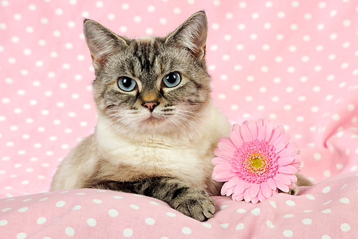 CAT 02 JD0023 01 © Kimball Stock Tabby Cat Laying On Pink Blanket By Pink Flower